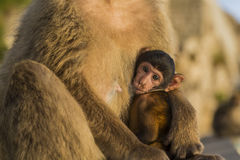 A baby berber monkey with its mother in Gibraltar stock photography