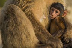 A baby berber monkey with its mother in Gibraltar Stock Photo