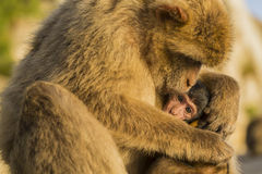 A baby berber monkey with its mother in Gibraltar Royalty Free Stock Image