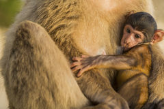 A baby berber monkey with its mother in Gibraltar Royalty Free Stock Images