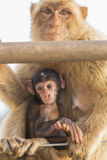 A baby berber monkey with its mother in Gibraltar Royalty Free Stock Photo