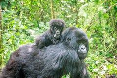 Baby-Berggorilla auf der Rückseite seiner Mutter Stockbilder
