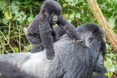 Baby-Berggorilla auf einem Silverback Lizenzfreies Stockfoto