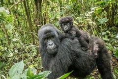 Baby-Berggorilla, der auf seiner Mutter sitzt stockbild