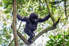 Baby-Berggorilla, der in einem Baum klettert Stockfotos