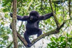 Baby-Berggorilla, der in einem Baum klettert Stockbild