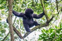 Baby-Berggorilla, der in einem Baum klettert Lizenzfreie Stockfotos