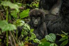 Baby-Berggorilla, der mit seiner Mutter in den Blättern legt Lizenzfreie Stockbilder