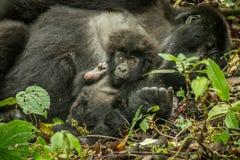 Baby-Berggorilla, der mit seiner Mutter in den Blättern legt Stockfoto