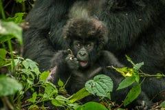 Baby-Berggorilla, der mit seiner Mutter in den Blättern legt Lizenzfreies Stockfoto
