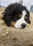 Baby bernese mountain dog puppy stock photography