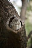 Baby bevlekte jonge uil in een boom Stock Afbeeldingen