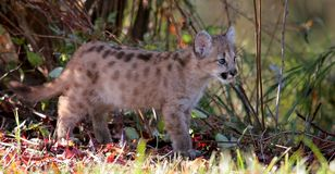 Baby cougar, mountain lion, or puma. Baby big cat with autumn foliage. Animal in captivity. Mountain Lion, Puma, Cougar are names for this cat stock photo