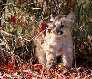 Baby cougar, mountain lion, or puma. Baby big cat with autumn foliage. Animal in captivity. Mountain Lion, Puma, Cougar are names for this cat stock photography