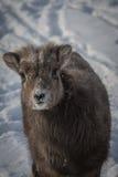Baby Big Horn Sheep Royalty Free Stock Image