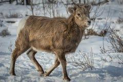 Baby Big Horn Sheep Stock Photos