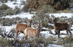 Baby big horn sheep Royalty Free Stock Images