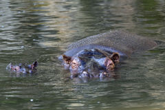 Baby and big mother hyppopotamus portrait Stock Images