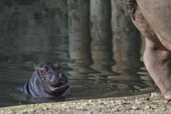 Baby and big mother hyppopotamus portrait Stock Photography
