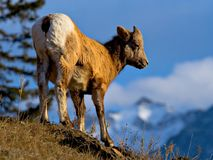 Baby Bighorn. A baby bighorn sheeps stands atop a steep hill in Jasper National Park royalty free stock photo