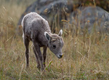 Baby bighorn sheeep lamb smelling flower Stock Photography