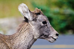 Baby Bighorn sheep Stock Photography