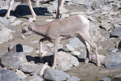 Baby Bighorn Sheep Royalty Free Stock Photos