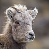 Baby Bighorn Sheep lamb close-up Royalty Free Stock Photos