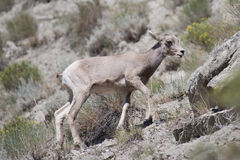 Baby Bighorn Sheep Stock Image