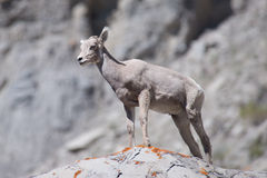 Baby Bighorn Sheep Stock Photos