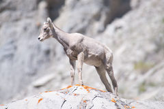 Baby Bighorn Sheep Royalty Free Stock Images