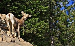 Baby Bighorn Sheep Royalty Free Stock Image