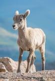 Baby Bighorn Sheep Stock Photos