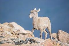Baby Bighorn Sheep Stock Image