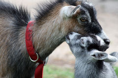 Baby billy goat kissing its mother. A baby billygoat kissing its mother stock photos