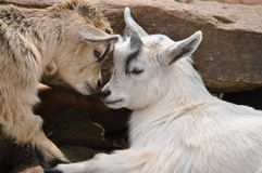 Baby billy goats butting heads. Baby billy goats cute brothers Stock Photos