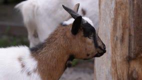 Baby binnenlandse geit stock videobeelden