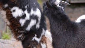 Baby binnenlandse geit stock footage
