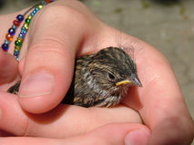 Baby bird. Young sparrow chick held in the hand of a girl stock photography