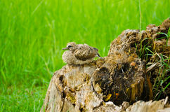 Baby bird. Waiting for his mother on the stump Royalty Free Stock Photo