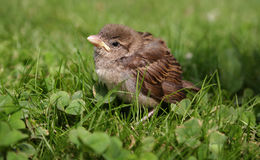 Baby bird. Sparrow in the grass Stock Photography