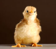 Baby Bird. A little chicken stock images