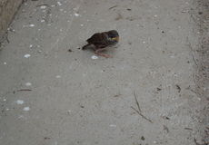 Baby bird. Animal nature wild Stock Images