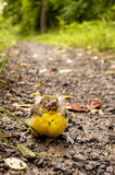 Baby Bird Royalty Free Stock Images