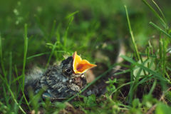 Baby Bird with Beak Open Royalty Free Stock Photo