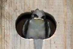 Baby Bird In a Bird House royalty free stock photos