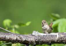 Baby Bird on a Branch Stock Image