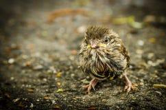 Baby Bird. Brown Baby Bird on the ground Stock Images