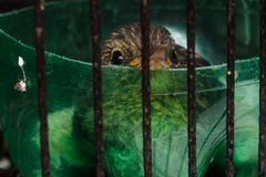 Baby bird in cage. Closeup shot of baby bird in cage royalty free stock photos