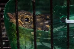 Baby bird in cage. Closeup shot of baby bird in cage stock photography